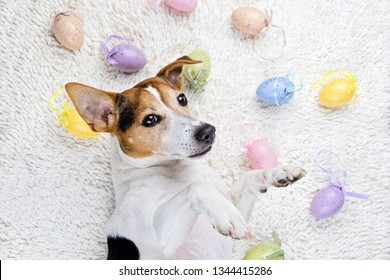 Cute puppy dog lying back on white rug with Easter painted eggs. Happy Easter Eggs Hunt concept greeting card, above view