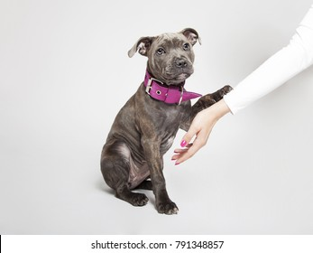 The cute puppy dog of Pitbull, giving a paw to the young woman, looking sadly, isolated on the white background