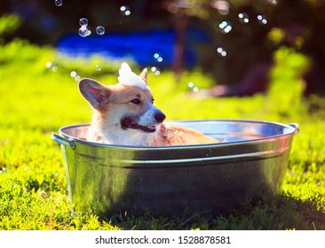 cute puppy dog red Corgi washed in a metal washtub on the street in the foam and soap bubbles glistening in the hot Sunny summer garden