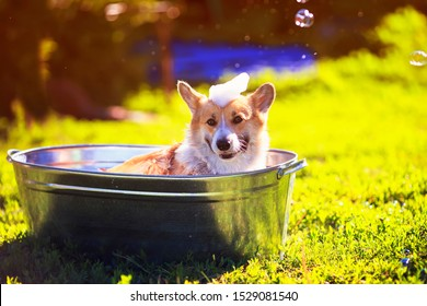 cute puppy dog red Corgi washed in a metal washtub on the street in the foam and soap bubbles glittering in the sun hot summer garden on green grass