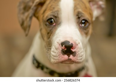 Cute puppy dog with white and spotted nose, tear in eye with brown background.
