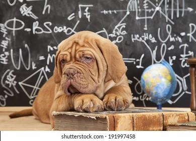 Cute puppy of Dogue de Bordeaux (French mastiff) lying in front of blackboard