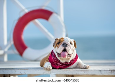 Cute puppy of english bull dog with funny face and red bandana on neck close to life saving buoy round floater.