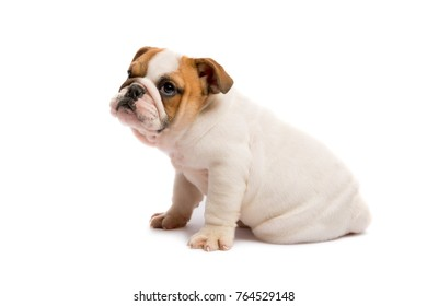 Cute puppy of English Bulldog isolated on white background