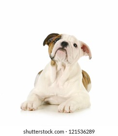 cute puppy - english bulldog puppy laying down looking up on white background