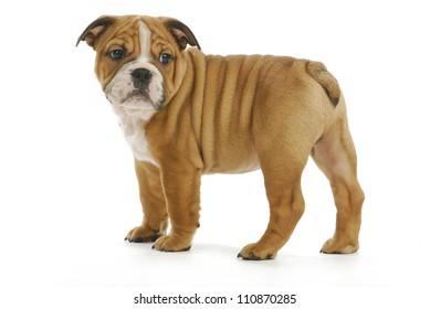 cute puppy - english bulldog puppy looking over shoulder - 8 weeks old