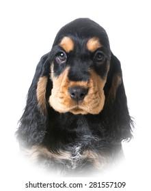 cute puppy - english cocker puppy portrait on white background - 12 weeks old