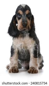 cute puppy - english cocker spaniel puppy  sitting on white background