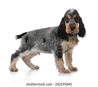 cute puppy - english cocker spaniel puppy  standing on white background