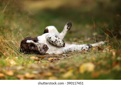 Cute Puppy English Springer Spaniel lying on the the footpath