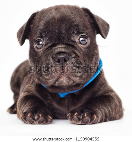 Cute Puppy French Bulldog Looking White Stock Photo Edit Now