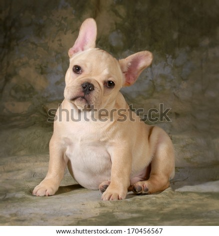 Cute Puppy French Bulldog Puppy Looking Stock Photo Edit Now