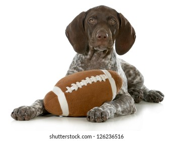 cute puppy- german short haired pointer puppy with stuffed football isolated on white background