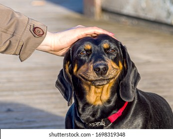 cute puppy Happy dog. smiling cute puppy dachshund. Funny and happy dog face. Female Hand Petting a Dog with a big smile. copys space for text. Image for wallpaper, desktop