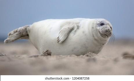 Cute puppy harbor seal (Phoca vitulina) looking in camera