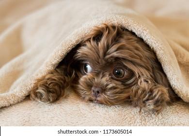Cute puppy hiding in blanket