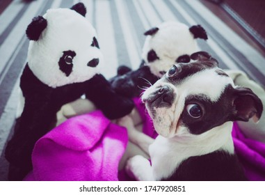Cute puppy image, Cute dog photo, Dog face photo, Dog with toys, Picture of dog toys, Cute pic, Boston terrier photo, Boston terrier image, Stock photos, Cute puppy stock photo, Doggy pic