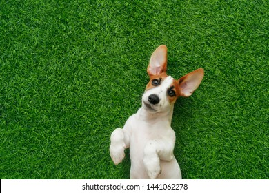 Cute puppy jack russel terrier, lying on green grass.