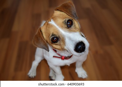 Cute puppy Jack Russell Terrier sitting on the brown parquet floor and looking with curious eyes