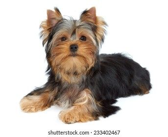 Cute puppy lies on white background. Yorkshire Terrier
