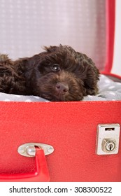 Cute puppy lying in a suitcase