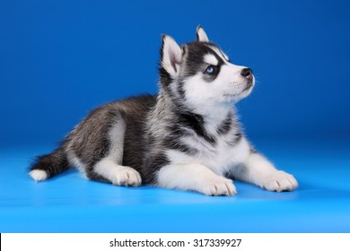 Cute puppy on a blue background
