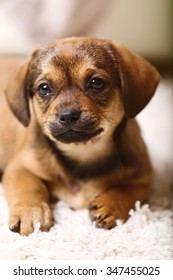 Cute puppy on carpet at home
