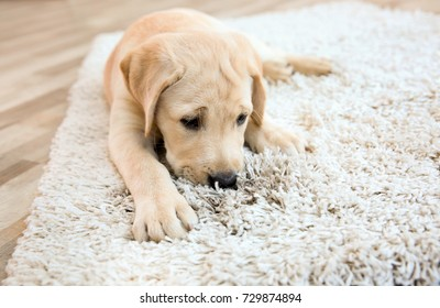 Cute puppy on dirty rug at home