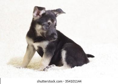 cute puppy on a fluffy carpet