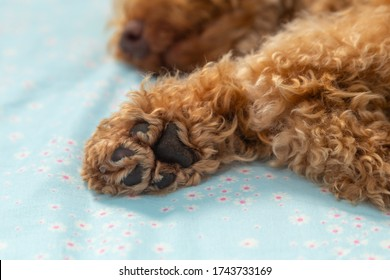 Cute puppy paw of Toy poodle puppy on bed room
