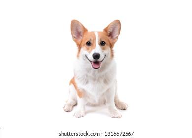 cute puppy pembroke welsh corgi sitting white background