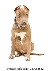 Cute puppy pit bull sitting isolated on white background