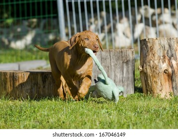 cute puppy playing outside in garden with a toy. the little dog is running with funny expression in face.