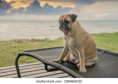 Cute puppy pug dog on a beach chair tanning at the beach on summer vacation holidays with twilight sky.