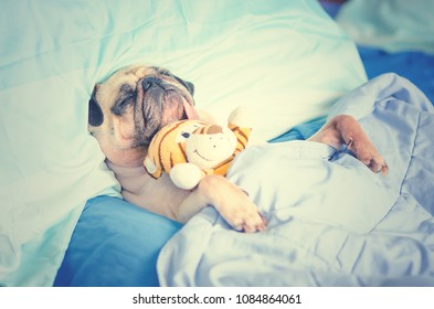 Cute Puppy Pug Dog Sleeping Rest in Bed Wrap with Blanket with Favorite Toy and Tongue Sticking Out.
