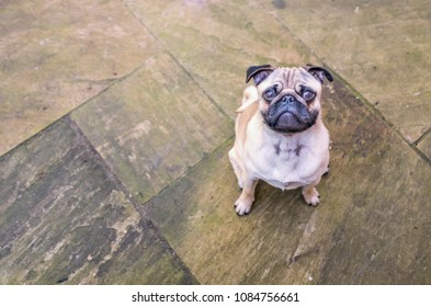 cute puppy pug looking sitting looking up from a paving stone patio waiting patiently