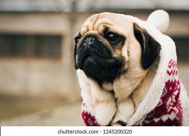 Cute puppy pug outdoors in the christmas suit. Dog in a red suit. Portrait of acute puppy. Christmas.