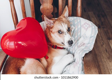 cute puppy with red heart. happy valentine's day concept. dog with red heart balloon in room. vet health care, medicine and blood donation concept. love and protection