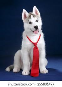 Cute puppy in a red tie
