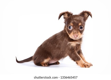 Cute puppy of russian toy terrier (isolated on white)