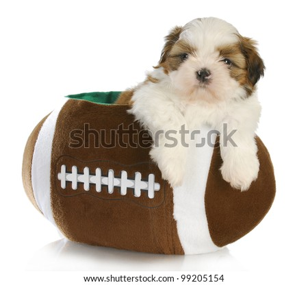 Cute Puppy Shih Tzu Puppy Sitting Stock Photo Edit Now 99205154