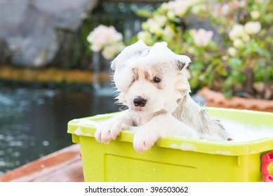 Cute puppy siberian husky bathing in green plastic box.