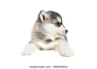 Cute puppy Siberian husky black and white