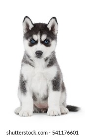 cute puppy Siberian husky black and white with blue eyes on white background in Studio
