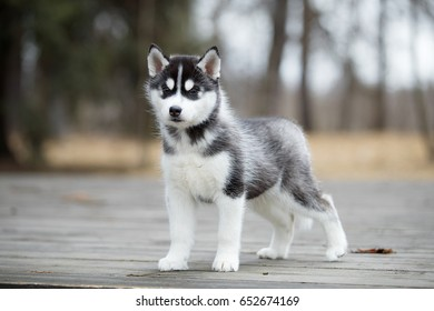Cute puppy Siberian husky black and white on the ground