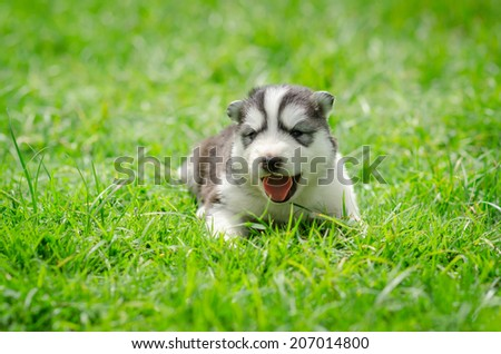 Cute Puppy Siberian Husky Howling On Stock Photo Edit Now