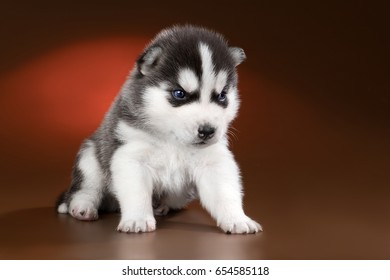 cute puppy Siberian husky on a brown background in the Studio