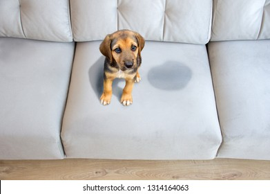 Cute puppy sitting near wet or piss spot on the sofa inside the room
