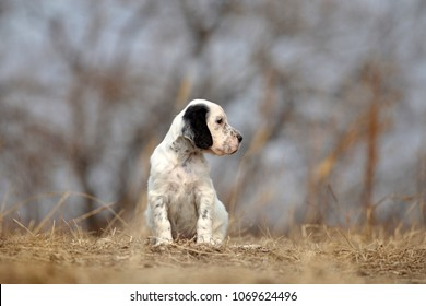 Cute puppy sitting outdoor. English setter dog.