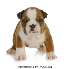 cute puppy - six week old english bulldog puppy looking at viewer